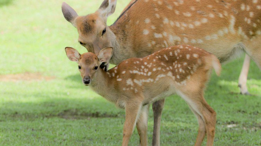 奈良の鹿を車でひいても罰金はありません!絶対に逃げないで、ちゃんと対処しましょう!